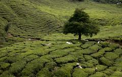 Recogida de la hoja del té (Salvatoren) Tags: malasia malaysia asia travel teaplantation bohtea cameronhighlands green nature tea té plantación paisaje agricultura