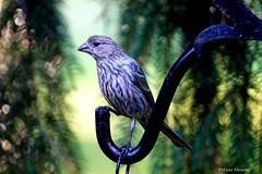 Female House Finch (Anne Ahearne) Tags: bird birds nature wildlife wild animal animals finch