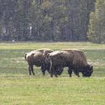 Bison thumbnail