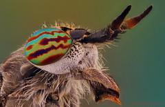 Tabanidae (JAVIOT) Tags: tabano tabanidae nikon bd plan 5x stack