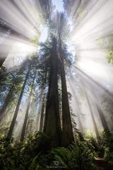 Giant Streaks! (Mohanram Sathyanarayanan) Tags: sunray haze sun sunrise alishan tehuacanturistico heaven sunrays colors redwoods nationalpark fog mist streaks ferns talltrees radiant wideangle trees california summer lush green godrays