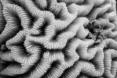 (saavedl) Tags: redsea underwater lx5 macro monochrome bw bn blackandwhite texture shapes lines egypt marine life animals