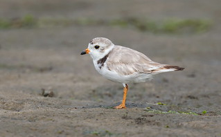 Piping Plover Nickerson beach ny