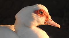 DSCN8360 (lalondepelletier) Tags: canard barbarie duck oiseau nature nikon coolpix p900 farm ferme