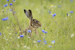 Brown hare (35NW3) Tags: