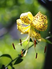 黄金鬼百合 (Polotaro) Tags: mzuikodigital45mmf18 flower nature olympus epm2 pen 花 自然 オリンパス ペン オウゴンオニユリ 7月 庭 garden