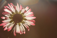 Throw all your cares away (alideniese) Tags: macro closeup daisy flower flora tiny small 7dwf backlight backlighting sunlight sunshine sunset sundown sun bright sunny alideniese evening bokeh light petals colour white pink diaphanous thin translucent