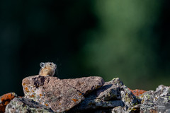 Ridgeline (craig goettsch) Tags: pika critter mammal rodent wildlife nature rocks green nikon d500