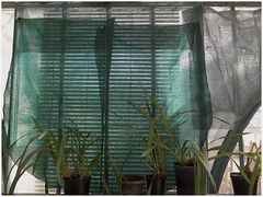 Life behind veils (michelle@c) Tags: springtime garden botanica greenhouse collection tradescantia plant screen blind veil green grey lesserresdauteuil westplateau patrimoine parisxiv 2017 michellecourteau