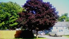 Maple Trees - TMT (Maenette1) Tags: maple trees fence cars house neighborhood menominee uppermichigan treemendoustuesday flicker365 michiganfavorites