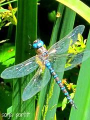 dragonfly (Sonja Parfitt) Tags: lostlagoon stanleypark vancouverbc