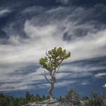 Tree on Rock, Mammoth Hot Springs (Yellowstone NP) thumbnail
