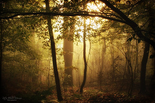 Golden foggy forest  -explore-