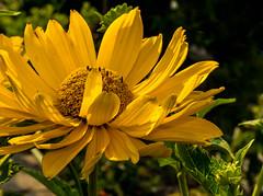 Yellow Flower Macro -Gelbes Blumen Makro ! (Karabelso) Tags: yellow flower blossom macro gelb blume blüte makro panasonic lumix gx7