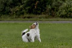 Sara. Warm rain into my nose. 31/52 (Tõnno Paju) Tags: sara 52weeksfordogs dog pet animal rain grass jack russel terrier jackrussel outdoors