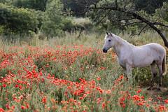 Camargue (Nicolas Loison) Tags: boisseron languedocroussillonmidipyrén france languedocroussillonmidipyrénées fr cheval animal camargue