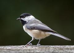 9/16 Chickadee Waiting His Turn (Karol A Olson) Tags: bird birdfeeder backyard sep17
