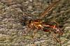 Syrphid Fly (jgruber111) Tags: polybiomyiaschnablei polybiomyia cerioidini eristalinae syrphidae diptera insect macro entomology