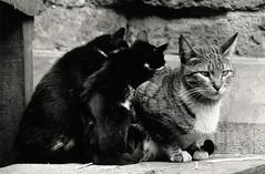 walter_rothwell_005 (walter_rothwell) Tags: walter rothwell photography cairo cats egypt blackandwhite fuji neopan400 35mm film nikonf6 monochrome analog darkroom