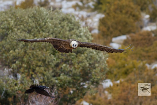 Lammergeier_adult_flight_w_1098