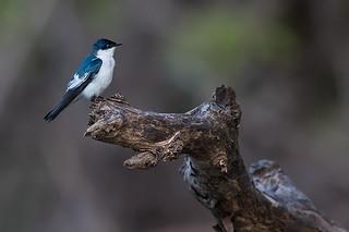 Andorinha-do-rio (Tachycineta albiventer) – White-winged Swallow