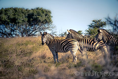 Zebras (JTrojer) Tags: africansafari africa2016 safari trojer addo southafrica sanparks sonya7r jtrojercom africa scotia