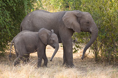 Synchronisation (Ring a Ding Ding) Tags: africa animal elephant equator loxodontaafricana queenelizabethnationalpark trunk uganda baby motherandbaby nature safari wildlife busongora westernregion alittlebeauty coth coth5 sunrays5