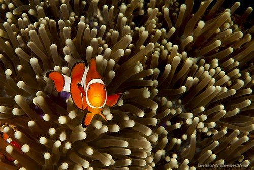CelebesDivers - underwater 69 (Amphiprion ocellaris)