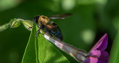 _DSC0379 (johnjmurphyiii) Tags: 06107 bees connecticut elizabethpark garden insect originalnef summer tamron18400 usa westhartford flowers johnjmurphyiii macro