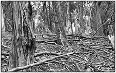 Roos in the timbers  2  look carefully Ilford HP+ Plus 125 (cupitt1) Tags: roos kangaroos wallabies bush timber gumtrees deadwood nsw wingen burning mountain