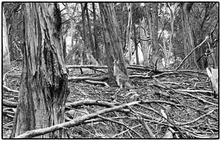 Roos in the timbers  2  look carefully Ilford HP+ Plus 125