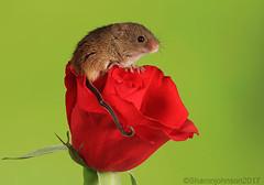 Harvest Mice 5