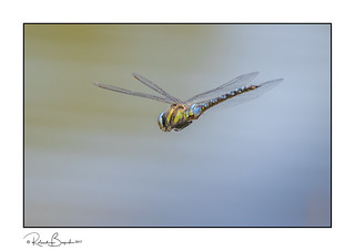 Loitering with intent - dragonfly hunting for prey