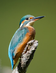 Martin-pêcheur d'Europe Alcedo atthis - Common Kingfisher (Julien Ruiz) Tags:
