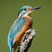 Martin-pêcheur d'Europe Alcedo atthis - Common Kingfisher (Julien Ruiz) Tags: