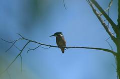 DSC_2722 (Rafael Martínez García) Tags: martínpescador d90 vr70300 nikkorvr70300mm bird birds ave aves pájaro kingfisher alcedoathis