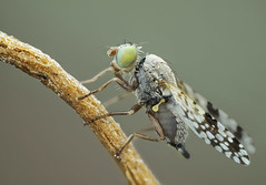 Tephritidae, Campiglossa difficilis (dorolpi) Tags: diptera