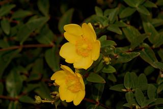 Les spots jaunes - The yellow spots