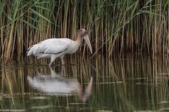 BJ8A0703-Wood Stork (documentation photo) (tfells) Tags: woodstork bird nature wildlife wading rare sandyhook newjersey