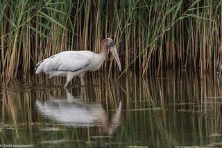 BJ8A0703-Wood Stork (documentation photo)