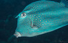 0B7A3013.jpg (aboulenein) Tags: windsock honeycombcowfish bonaire thelake uw