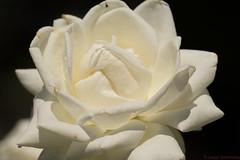 ...seems to glow from within (GrammateyLes) Tags: rose whiterose weisrose flower singleflower