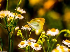 Daisy and a Butterfly (Baburam Bhattarai) Tags: butterfly insect daisy garden park wild bug korea flower outdoor bokeh summer nature blur ogród natura giardino fiore estate sfocatura organic pattern plant bright petal spring