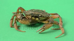 Live crabs on a green background. (daria.boteva) Tags: animals armor arthropod background beach chroma chromakey claw close crab crablegs crabbing crustacean delicacy delicious diet fish fishing food fresh green habitat key keying legs live meal nature pebble pothouse proteinbeer pub raw river sea seafood snack wild