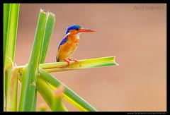 Beauty of The Nature (asifsherazi) Tags: malachitekingfisher lakebaringo asifsherazi nikonsafari kenya