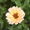 Calendula (MJ Harbey) Tags: calendula snowprincess flower garden plant kathybrownsgarden stevington buckinghamshire peachflower