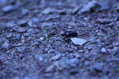 (wxnzxn) Tags: beetle bug grass forest stones insect animal