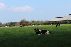 Good Grass and Rest (excellentzebu1050) Tags: dairycows livestock cow cattle farm field animals outdoor coth5 sunrays5