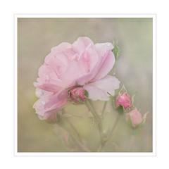 Wednesday Rose (BirgittaSjostedt) Tags: rose plant garden nature drop soft bud summer closeup macro frame