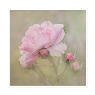 Wednesday Rose